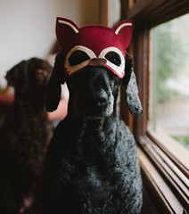 gary says, what does the fox say? (Kasandra_A) Tags: pets costume gary dan standardpoodle littledoglaughedstories