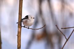 *** (Yuriy Kuzmenok) Tags: ополовник птицы птица природа синицы синица животные