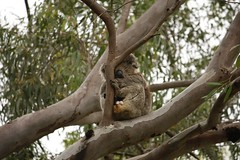 Sleepy Grunty (nickant44) Tags: koala australia clarendon fauna tree canon 40d 55250mm efs bokeh