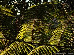 Ponga fronds sunrise glow (Julie V. Simpson Photographer) Tags: green trees leaves nature shadows naturalworld instadaily instagram instanature naturephotography naturelovers natureza natureperfection newzealand garden ferns nzbush sunriseshine