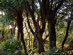 Our bush early morning glow (Julie V. Simpson Photographer) Tags: green trees leaves nature shadows naturalworld instadaily instagram instanature naturephotography naturelovers natureza natureperfection newzealand garden ferns nzbush sunriseshine