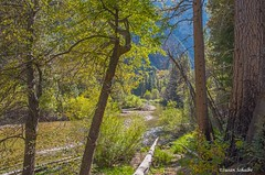 A quiet day in the canyon (Photosuze) Tags: kingscanyon nationalpark california trees river fall autumn forest peaceful serene landscape