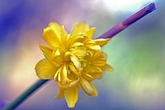 Smoke and mirrors (L@nce (ランス)) Tags: flower yellow bokeh macro micro nikkor nikon victoria britishcolumbia canada