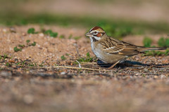 Lark Sparrow (gilamonster8) Tags: lynx natuesbest larksparrow wing sparrow canon ef500mmf4lisusmef500mmf4lisusm ngc animal 5dmarkiv feather urban wildlife park bird naturetop beak arizona eos tucson flickr detail
