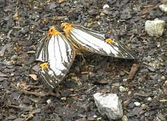 THE STRAIGHT-LINED MAP - CYRESTIS NIVEA (nikolayloginov) Tags: sumatra indonesia суматра индонезия бабочка butterfly