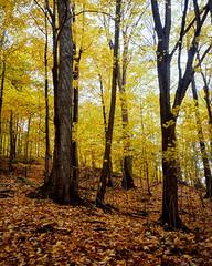 In Autumn Forest (azhukau) Tags: kodakektachrome100 filmphotography analog newektachrome contaxrx 2018 fall nature outdoors autumn pixelshift carlzeiss distagon35mmf28cy yellowleafs woodland forest leafs digitized toronto park