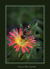 King of the Garden (fine art by Christy) Tags: flower flowers floral flowerphoto floralphoto flowerpainting floralpainting colorfulflower flowerarrangement floralarrangement flowergarden garden dragonfly bug