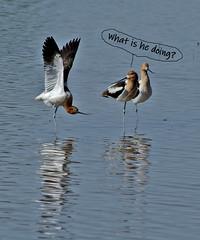 American Avocets. (cbrozek21) Tags: americanavocet humor water funny bird