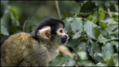 _SG_2019_12_5002_IMG_5438 (_SG_) Tags: basle basel bale schweiz switzerland suisse zoo zoli baslerzoo baslerzooli zooli tiere animals tier baslerzoli zoobasel affe affen ape totenkopfaffe totenkopfäffchen saimiri squirrel monkey squirrelmonkey tupi