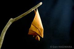 休むオオコウモリ / Resting flying fox (Gen Hagiwara) Tags: origami paper folding craft art paperart papercraft genhagiwara animal bat flyingfox