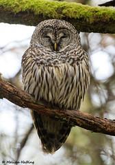 Barred Owl (Strix varia) - Washington State (bcbirdergirl) Tags: washingtonstate wa us pacificcounty capedisappointment raptor birdofprey barredowl owl owls pnw forest rainforest coastalrainforest strixvaria invasive nonnative wearetheproblemnotbarredowls dontblamebarredowls usa