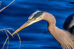 Great Blue Heron (cj13822) Tags: columbia maryland unitedstatesofamerica tamron canon 7d eos nature wildlife animal birds heron greatblueheron