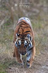 Queen of Grasslands, Jim Corbett Tiger Reserve (Chandrasekhar Bhattacharya) Tags: tiger tigerreserve tigerinthewild tigress jimcorbetttigerreserve uttarakhand ramnagar dhikala conservation wild forest jungle safari