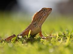 Taking a Sunbath (VintageLensLover) Tags: echsen reptilien tiere thailand khaolak natur outdoor naturfotografie nature reptiles bokeh bokehlicious schärfentiefe schärfeverlauf tierfotografie olympusem1 zuiko40150f28pro