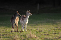 Two Fawns (andy_AHG) Tags: wildlife winter antlers animals nikond300s yorkshire fallowdeer fawns