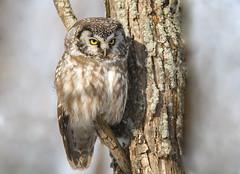 Nyctale de tengmaml (icascidos) Tags: beautiful ngc nature beau oiseauxbirdsnaturewildlifeneige wild marais light lumière liberte neige nyctale adorable arbres ave