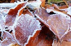Unterföhring - Frozen Leaves (cnmark) Tags: germany deutschland bayern bavaria unterföhring unterföhringersee poschingerweiher leaves blätter frost hoarfrost reif raureif nature natur ©allrightsreserved