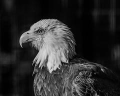 American Bald Eagle (Jemlnlx) Tags: canon eos 5d mark iv 5d4 tamron 150600mm g2 di vc usd 563 zoom telephoto philadelphia pa pennsylvania zoo animals black white bw blackwhite blackandwhite monochrome bald eagle america