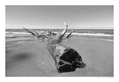 BAUM (herbert thomas hesse) Tags: hth tree baum see meer wasser nationalpark dars sw bw monochrome