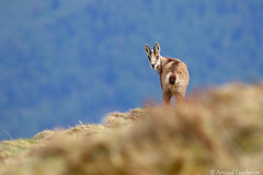 6404 (Arnaud Faucheron) Tags: arnaudfaucheron arnaud animal alsace animalier canon7dmarkii sigma sigma150600f563dgoshsmcontemporary sauvage wild vosges vosgien chamois poil hohneck shlucht canon hiver rocher equilibre montagne pierre faune