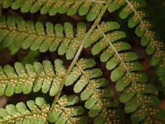 Dryopteris filix-mas (L'herbier en photos) Tags: dryoptéridacées dryopteridaceae dryopteris filixmas schott dryoptéris fougèremâle male fern helecho macho fougère mâle wallonie belgique dorinne yvoir namur condroz pa0402 ecoid664