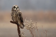 nature (bp5131) Tags: short eared owl kankakee sands indiana