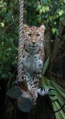 Kanika (greekgal.esm) Tags: amurleopard leopard fareasternleopard bigcat cat feline animal mammal carnivore kanika santabarbarazoo santabarbara sony rx10iv rx10m4