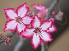 Impala Lily     /    Impala Lelie (Pixi2011) Tags: flowers krugernationalpark southafrica africa flora