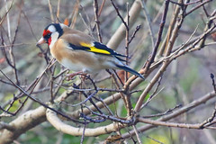 Goldfinch (Roy Lowry) Tags: goldfinch garden cardueliscarduelis