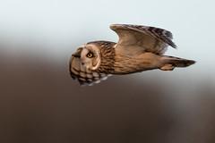 Flypast (irelaia) Tags: short eared owl wild bird raptor birds prey winter visitor shortearedowl birdofprey owlinflight bif nature wildlife