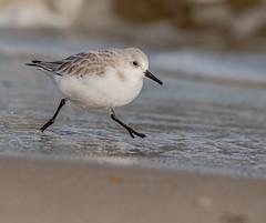 Sand Darling (AnthonyVanSchoor) Tags: shorebirds sanderling birdshare birdwatchingmagazine birds audubon