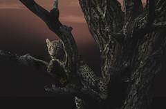 Leopard_7320 (Peter Warne-Epping Forest) Tags: leopard sabisands southafrica peterwarne composite pantherapardus predator largecat carnivore