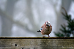 Hey, Any Good Food Downthere? (Alfred Grupstra) Tags: bird animal nature wildlife beak perching sitting branch outdoors closeup oneanimal feather animalsinthewild multicolored red blue cute tree looking colorimage jay roof