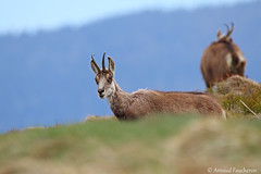 6438 (Arnaud Faucheron) Tags: arnaudfaucheron arnaud animal alsace animalier canon7dmarkii sigma sigma150600f563dgoshsmcontemporary sauvage wild vosges vosgien chamois poil hohneck shlucht canon hiver rocher equilibre montagne pierre faune