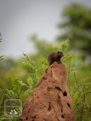 Dwarf Mongoose (fentonphotography) Tags: wildlife fauna termitemound dwarfmongoose southafrica adorable safari wildanimal krugernationalpark originalphotography