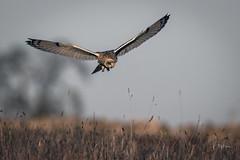 Eye on the prize (andy_harris62) Tags: shortearedowl shortie owl nikond850 nikon wildlife wildlifephotography nature naturephotography raptor outside outdoors bif birdinflight nikon500mmf4