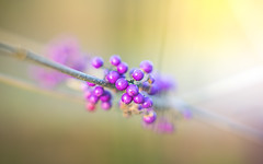 purple berries (Dhina A) Tags: sony a7rii ilce7rm2 a7r2 a7r canon fd 55mm f12 ssc canonfd55mmf12ssc 8blades bokeh manualfocus callicarpa beautyberry beauty purple berries
