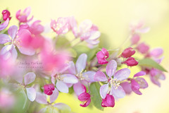 Crab Apple Blossom (Jacky Parker Photography) Tags: crabappleblossom crabappletree appleblossom blossom springtime springflowering springgarden closeup flowers pink freshness purity vitality beautyinnature growth season flowerphotography nikond750 uk