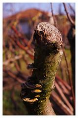 Tempus Fu(n)git (Celtis Australis) Tags: fungus fungi treetrunk decay nature garden moss wood branch bokeh pentaxk50 pentaxart smcpentaxda50mmf18 niftyfifty 50mmphotography winter macro closeup