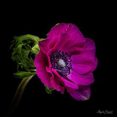 Purple anemone (Magda Banach) Tags: nikond850 anemone blackbackground colors flora flower green macro nature plants purple