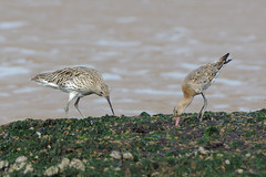K32P7207c  Curlew and Bar-tailed Godwit, Titchwell Beach, September 2019 (bobchappell55) Tags: norfolk numeniusarquata titchwell beach bird nature wader wild wildlife limosalapponica curlew