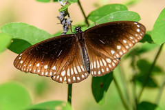 India - Buttefly - Kerala - 2317 (Peter Goll thx for +14.000.000 views) Tags: mararibeach schmetterling d850 indien kerala mararikulam nikkor india nature nikond850 nikkor28300 28300mm natur butterfly cherthala