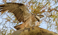 sunset - evening  meal  -  eastern osprey #2 (Fat Burns ☮) Tags: easternosprey pandioncristatus bird australianbird fauna australianfauna wildlife australianwildlife raptor osprey nikond500 nikon20005000mmf56vr herveybay queensland australia lagooncreekbarcaldine qld