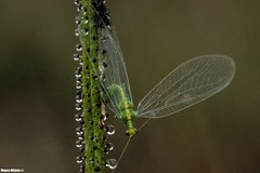 Caught! (Mauro Hilário) Tags: insect invertebrate animal wildlife closeup macro nature green chrysoperla neuroptera lacewing weird carnivorous plant dewy pine