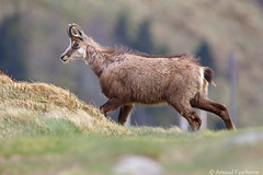 6640 (Arnaud Faucheron) Tags: arnaudfaucheron arnaud animal alsace animalier canon7dmarkii sigma sigma150600f563dgoshsmcontemporary sauvage wild vosges vosgien chamois poil hohneck shlucht canon hiver rocher equilibre montagne pierre faune