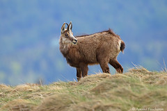 6572 (Arnaud Faucheron) Tags: arnaudfaucheron arnaud animal alsace animalier canon7dmarkii sigma sigma150600f563dgoshsmcontemporary sauvage wild vosges vosgien chamois poil hohneck shlucht canon hiver rocher equilibre montagne pierre faune