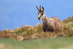 6447 (Arnaud Faucheron) Tags: arnaudfaucheron arnaud animal alsace animalier canon7dmarkii sigma sigma150600f563dgoshsmcontemporary sauvage wild vosges vosgien chamois poil hohneck shlucht canon hiver rocher equilibre montagne pierre faune