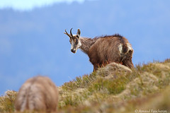 6444 (Arnaud Faucheron) Tags: arnaudfaucheron arnaud animal alsace animalier canon7dmarkii sigma sigma150600f563dgoshsmcontemporary sauvage wild vosges vosgien chamois poil hohneck shlucht canon hiver rocher equilibre montagne pierre faune