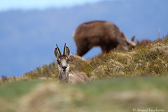 6422 (Arnaud Faucheron) Tags: arnaudfaucheron arnaud animal alsace animalier canon7dmarkii sigma sigma150600f563dgoshsmcontemporary sauvage wild vosges vosgien chamois poil hohneck shlucht canon hiver rocher equilibre montagne pierre faune