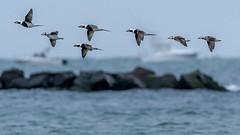 Long-Tailed Duck (Kevin E Fox) Tags: longtailedduck clangulahyemalis oceancounty newjersey nj bird birding birdwatching birds birdphotography birdinflight sigma150600sport sigma shorebirds shorebird nature nikond500 nikon